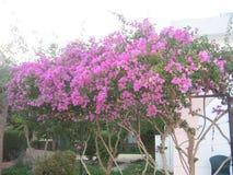 Pink blossom tree Royalty Free Stock Photo