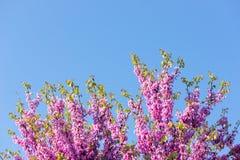 Pink blossom tree Royalty Free Stock Photos