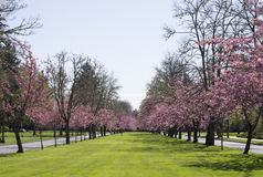 Pink Blossom tree road Royalty Free Stock Photos