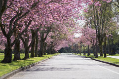 Pink Blossom tree road. Pink Blossom trees on a quite road during summer in Tacoma, Washington stock image