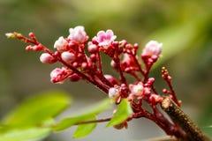 Pink blossom tree. In Vasile Fati Botanical Garden, Jibou, Salaj county, Romania Stock Photo