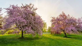 Pink blossom trees Stock Photography