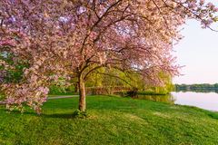 Pink blossom trees and foot bridge in a park Royalty Free Stock Photography