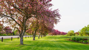Pink blossom trees beside a road Royalty Free Stock Photo