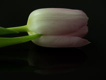 Pink blossom of tulip mirrored and isolated on black Stock Images