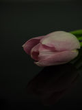 Pink blossom of tulip mirrored and isolated on black Royalty Free Stock Photos