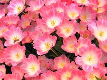 Pink blossom tulips background Royalty Free Stock Image