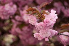 Pink blossomed sakura flowers. Beautiful spring background with pink Sakura flowers closeup on a branch on the blurred background of blossoming garden in Stock Photos