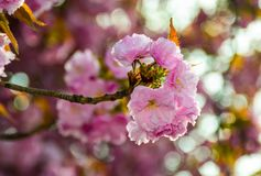 Pink blossomed sakura flowers with blur. Delicate pink flowers blossomed Japanese cherry trees on blury background stock photo