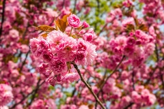 Pink blossomed sakura flowers on blured background Stock Photos