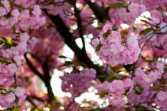 Pink blossomed sakura flowers. Delicate pink flowers blossomed Japanese cherry trees royalty free stock photos