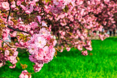 Pink blossomed sakura flowers Stock Photo