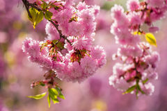 Pink blossomed sakura flowers. Delicate pink flowers blossomed Japanese cherry trees on blur background Royalty Free Stock Photos