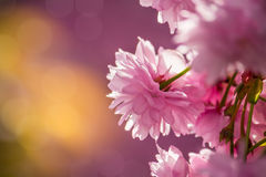 Pink blossomed sakura flowers. Delicate pink flowers blossomed Japanese cherry trees on blur background Royalty Free Stock Photo