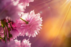Pink blossomed sakura flowers. Delicate pink flowers blossomed Japanese cherry trees on blur background in sun ray Royalty Free Stock Images