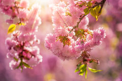 Pink blossomed sakura flowers. Delicate pink flowers blossomed Japanese cherry trees on blur background in sun ray Royalty Free Stock Image