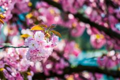 Pink blossomed sakura flowers. Delicate pink flowers of blossomed Japanese cherry trees stock photo