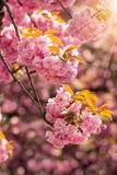 Pink blossomed sakura flowers in rays Royalty Free Stock Photo