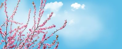Pink blossoming branches of an ornamental cherry in front of a blue sky stock images