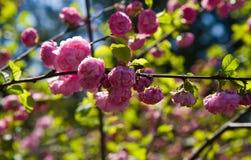 Pink blossoming bush Royalty Free Stock Photos