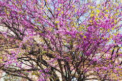Pink blossoming of cercis siliquastrum in Verona Royalty Free Stock Images