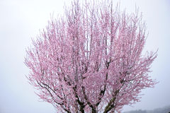 Pink blossoming cherry tree. Pink blossoming flowers on a cherry tree Royalty Free Stock Photography