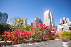 Pink blossoming flowers, Yerba Buena Gardens park Royalty Free Stock Photos