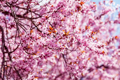 Pink blossoming magnolia tree, for background Royalty Free Stock Image