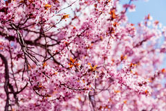 Pink blossoming magnolia tree, for  background Stock Photography