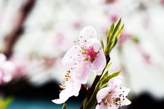 Pink blossoming peach flowers Royalty Free Stock Photography