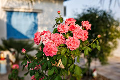 Pink blossoming rose bush Royalty Free Stock Image