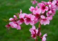 Free Pink Blossoms Royalty Free Stock Images - 14058139