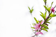 Free Pink Blossoms Royalty Free Stock Photo - 30357025