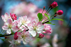 Pink blossoms. Close-up photo of apple blossoms Stock Photography