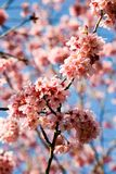 Pink blossoms. Cherry tree blossoming in spring with a blue sky in the background Royalty Free Stock Photos