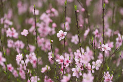 Free Pink Blossoms Royalty Free Stock Photo - 71479765