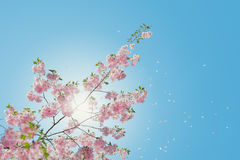 Pink blossoms against blue skies Royalty Free Stock Images