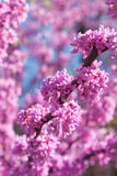 Pink Blossoms Blooming On Eastern Redbud Tree In Springtime Stock Photo