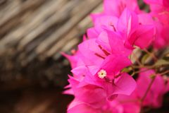 The pink blossoms of a Bougainvillea. Blooming in a garden in Mandawa, India stock image