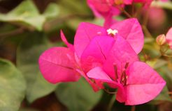 The Pink blossoms of a Bougainvillea. The pink blossom of a Bougainvillea blooming in the city of Mandawa, India royalty free stock photos