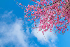 Pink blossoms on the branch with blue sky during spring blooming. Branch with pink sakura blossoms and blue sky background. Bloomi Royalty Free Stock Images