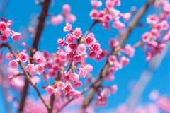Pink blossoms on the branch with blue sky during spring blooming Branch with pink sakura blossoms and blue sky background. Blooming cherry tree branches stock photo