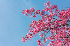 Pink blossoms on the branch with blue sky during spring blooming Branch with pink sakura blossoms and blue sky background. Bloomin Royalty Free Stock Image