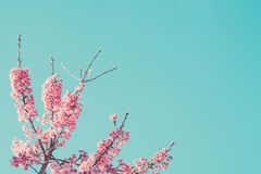 Blossom apple trees on background sky stock images
