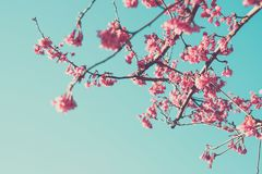 Blossom apple trees on background sky royalty free stock photo