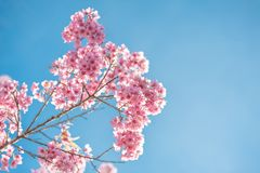 Pink blossoms on the branch with blue sky during spring blooming. Branch with pink sakura blossoms and blue sky background. Blooming cherry tree branches stock photo