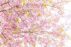 Pink blossoms on the branch with blue sky during spring blooming. Branch with pink sakura blossoms and blue sky background. Blooming cherry tree branches royalty free stock photo