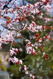 Pink blossoms on branch Royalty Free Stock Photos