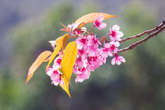 Pink blossoms on the branch selective focus with green leaves during spring blooming. Branch with pink sakura blossoms and blue sk Royalty Free Stock Image