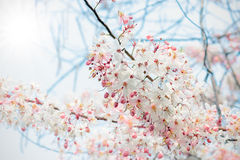 Pink blossoms on the branch in winter Royalty Free Stock Photo